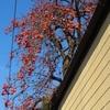 いっぱい実をつけた柿の木
