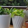 3週間程度水差ししていたポトスを鉢に植え替え(ポトス・増やし方)