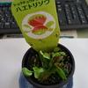 食虫植物 ハエトリソウを買ってもらいました。 餌を与えてみる