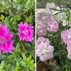 早咲きナデシコが沢山の花をつけています.「4月から6月に咲く」とされている花たちが早くも満開;ミヤコワスレ,セイヨウオダマキ.今最も目立ってるヒメウツギは,例年なら,開花が4月半ば.紫華鬘・鬼田平子などの雑草たちも元気いっぱいに花を咲かせています.早くも彼らとの戦いに日々---.今年も敗れさることは目に見えていますが.