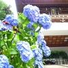 江ノ島の紫陽花を探しに(再編集)