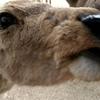 日本一周8日目 奈良は鹿で大騒ぎ! 大阪の夜は串カツ
