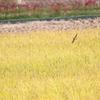 田んぼに集う鳥さんたち