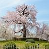 円山公園の春。2018年の枝垂桜、満開。