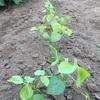 白小豆本葉出現とミニカボチャの棚作り