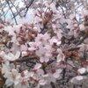 なんとなくウキウキする季節/マーメイド歯科 2014/4/21