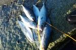 【釣果】茨城県 玉田ヘッドランドでヒラメ&ワカシが大漁だった話。