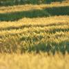 麦の丘を包む声