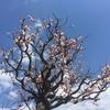 山口県にある梅の名所おすすめ4選|春の訪れを感じに出掛けよう