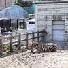 東山動植物園での写真02 しまうま、カンガルー、モモイロペリカン