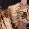 猫の腎臓病治療法が開発だって? 寿命が2倍に伸びるとかすげぇ!