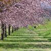 埼玉県坂戸市の北浅羽桜堤にある安行寒桜が綺麗で最高におすすめ