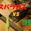 アカミミガメのヨモギ亀がアスパラガスを食べるのか?