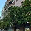 早春のスペイン♪ その3  オレンジの街路樹 セビーリャ