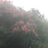 この赤い花がさく木はなにか