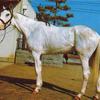 「日本で最初の白毛馬」ハクタイユー【日本で生まれた歴代の白毛馬をまとめてみた①】
