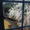 レトロな青い窓からみえる桜