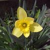 ラッパ水仙が咲きました