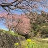 今日もしつこく河津桜、河津桜、河津桜