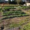 町のチャレンジ畑の収穫