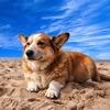 ウェールズの犬、ウェルシュ・コーギー・カーディガンとペンブロークの歴史