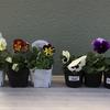 5-206   愛すべき花たち〜20-21年冬プランター第2弾はパンジー〜