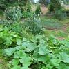 突風により家庭菜園に被害!!果たしてトウモロコシは収穫できるのか?!