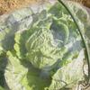葉物野菜のトンネル栽培