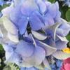 七変化とは何の花?