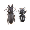昆虫博物学 くわがたもどき