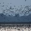 早朝に飛び立つマガンの大群ー伊豆沼
