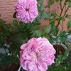 この時期咲いている花「パリス」