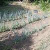 長ネギの強風対策とアスパラガスの定植