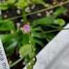 ピグミーツデイとマダガスカリエンシスが咲きました