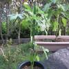 8/31 夏オクラ植えてみました。 21日目