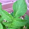 ジャガイモの葉に白い斑点?!