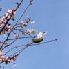 中央地区の河津桜、スーパー三和並木店近く!