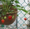 苺の初収穫!
