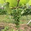 【ワイン】丹波のワイナリーを訪れて、自然を満喫