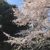 ●今日の桜ウォーキング