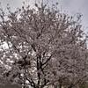 (おまけ③)熊本市内を散歩した時に見つけた桜