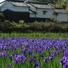 京都府城陽市「花の小路」カキツバタ