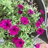 もう一花 咲いたサフィニアとデュエットバルコニアの様子