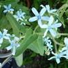 庭の青い星たち