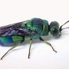 イラガセイボウ羽化、美し過ぎる寄生生物