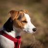 愛犬の散歩に首輪とハーネス 、どっちを使うべきか考える