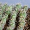 【多肉植物】ギムノカリキウム 海王丸さんの実生 10ヶ月が経過