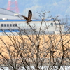 新春に飛ぶチュウヒ