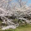 Akashi Park's Sakura