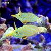 (海水魚)沖縄産 テングカワハギ ペア(1ペア) 北海道・九州・沖縄航空便要保温